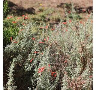 Bouvardia-ternifolia-homoepathie