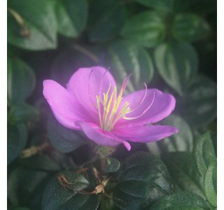 Heterotis-rotundifolia-Globuli