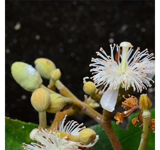 Guazuma-ulmifolia-Globuli