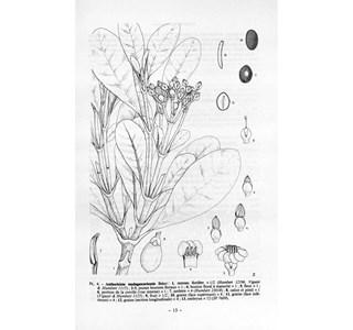 Anthocleista-madagascariensis-Globuli