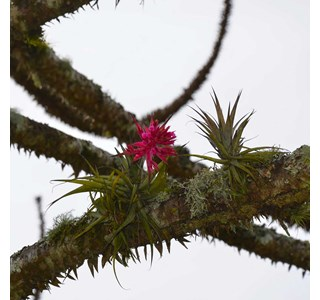 Tillandsia-geminiflora-Globuli