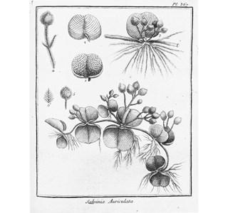 Salvinia-auriculata-Globuli