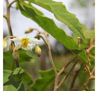 Solanum-paniculatum-Globuli