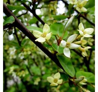 Elaeagnus-multiflora-Globuli