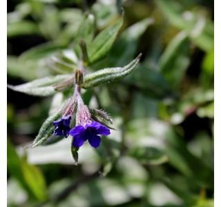 Buglossoides-purpurocaerulea-Globuli