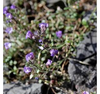 Chaenorhinum-origanifolium-Globuli