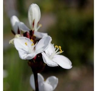 Libertia-chilensis-Globuli