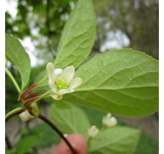 Schisandra-chinensis-Globuli