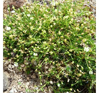 Sagina-subulata-Globuli