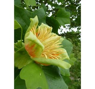 Liriodendron-tulipifera-ex-herba-Globuli