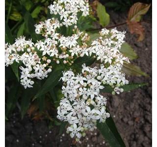 Diervilla-sessilifolia-Globuli
