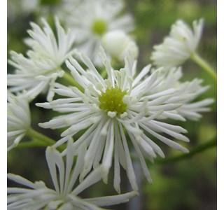 Trautvetteria-caroliniensis-Globuli
