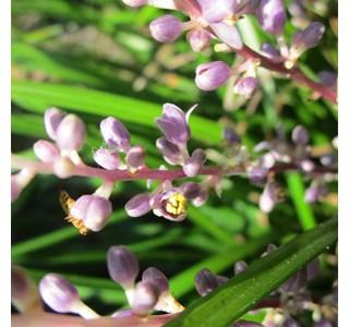 Liriope-spicata-Globuli