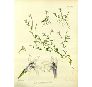 Isotoma-fluviatilis-Globuli