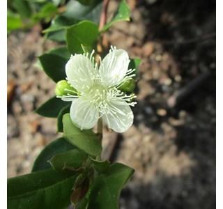 Luma-apiculata-Globuli