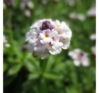 Phyla-nodiflora-Globuli