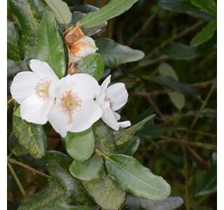 Eucryphia-intermedia-rostrevor-Globuli