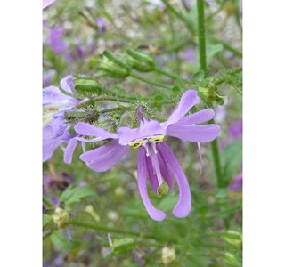 Schizanthus-pinnatus-Globuli
