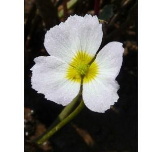 Baldellia-ranunculoides-Globuli