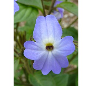Browallia-americana-Globuli
