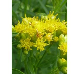Euthamia-graminifolia-Globuli