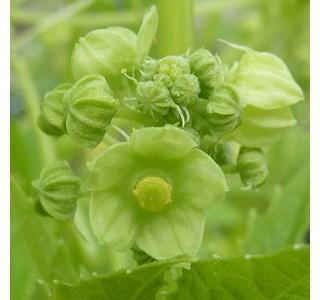 Cyclanthera-pedata-Globuli
