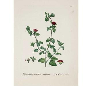 Mesembryanthemum-cordifolium-Globuli