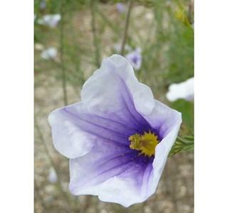 Nierembergia-scoparia-Globuli