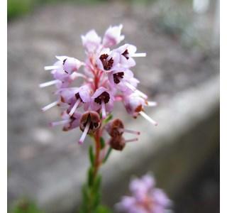Erica-spiculifolia-Globuli