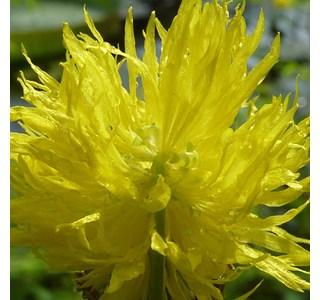 Neptunia-oleracea-Globuli