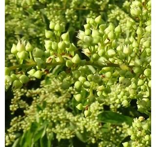 Berchemia-racemosa-Globuli