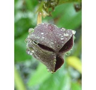 Thottea-siliquosa-Globuli