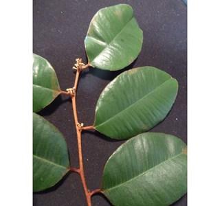 Chrysophyllum-oliviforme-Globuli