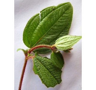 Rhynchanthera-paludicola-Globuli