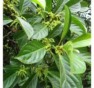 Tetrorchidium-euryphyllum-Globuli