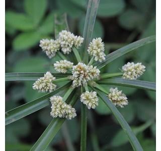 Cyperus-luzulae-Globuli