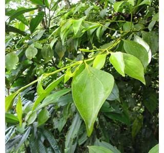 Oryctanthus-occidentalis-Globuli