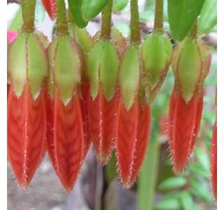 Agapetes-serpens-Globuli