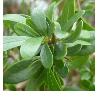 Argania-spinosa-Globuli