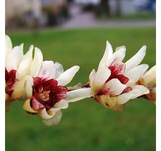 Chimonanthus-praecox-Globuli