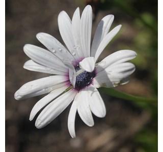 Osteospermum-ecklonis-Globuli