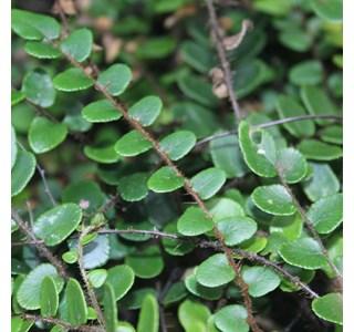 Pellaea-rotundifolia-Globuli