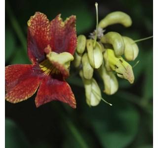 Markhamia-zanzibarica-Globuli