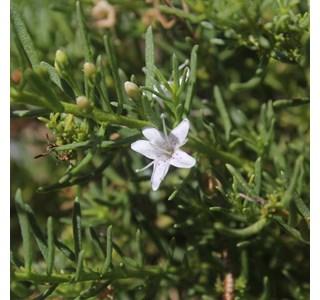 Myoporum-parvifolium-Globuli