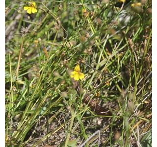 Goodenia-paniculata-Globuli