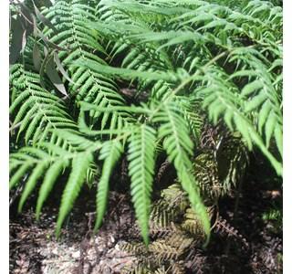 Cyathea-australis-Globuli