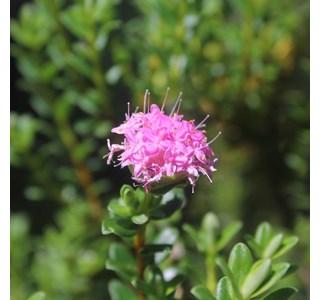 Darwinia-fascicularis-Globuli