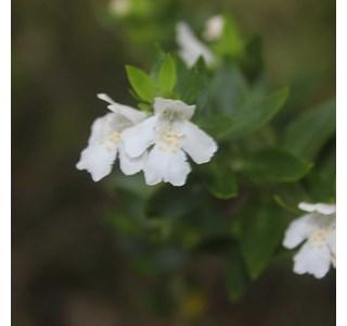 Westringia-amabilis-Globuli