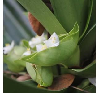 Amischotolype-mollissima-Globuli
