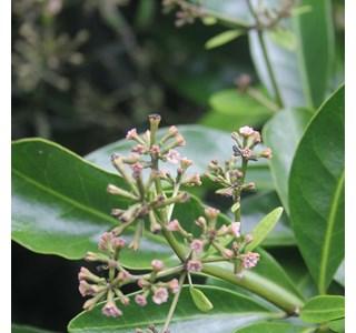 Pisonia-brunoniana-Globuli